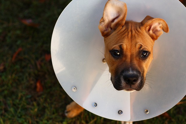 photo credit: Aidras 'cone of shame' URL https://www.flickr.com/photos/aidras/5126967608. (Licence https://creativecommons.org/licenses/by-nd/2.0/)