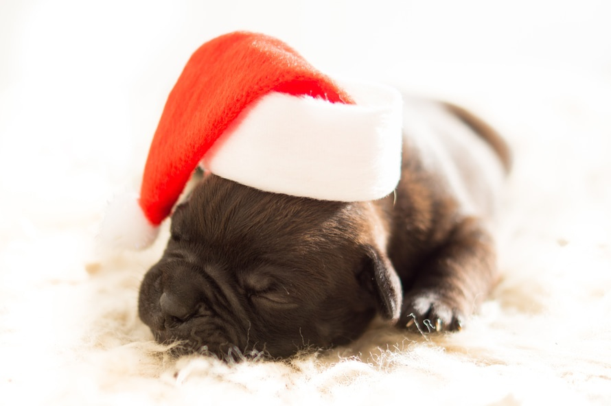 Photo credit : httpswww.pexels.comphotodog-christmas-xmas-bulldog-3884